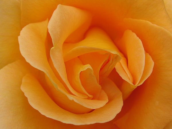 roseorange2bg.jpg