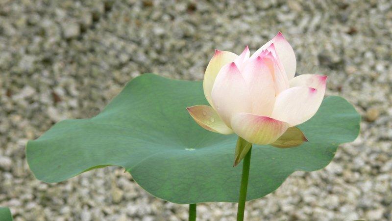 Fleur lotus art litt rature et spiritualit - Fleur de lotus bouddhisme ...
